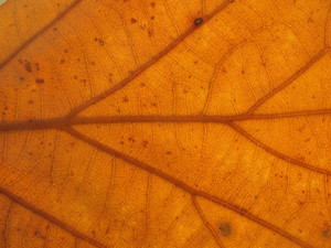 Leaves 22 Texture