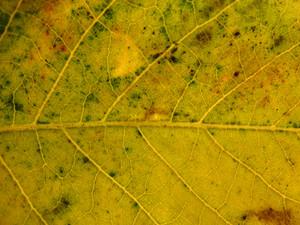 Leaves 25 Texture
