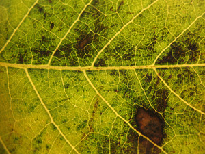 Leaves 28 Texture