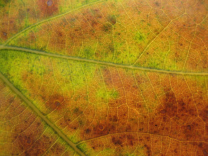 Leaves 31 Texture