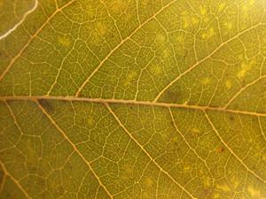 Leaves 33 Texture