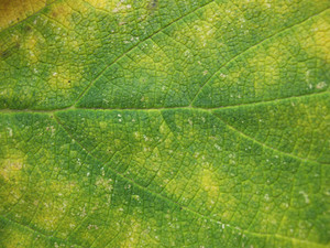 Leaves 52 Texture
