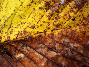 Leaves 54 Texture
