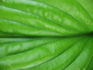 Leaves 55 Texture