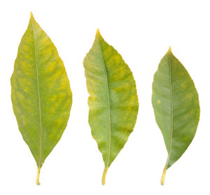 Lemon Leafs