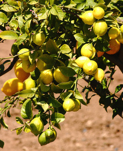 Lemons In A Lemon Tree In Europe