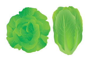 Lettuce. Vector Illustration.