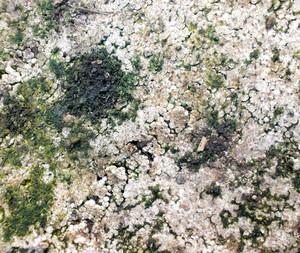 Lichen Texture 13