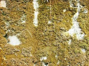 Lichen_texture