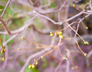 Lilac leaves buds on branches. First leaves on trees in springtime. Sign of spring coming.