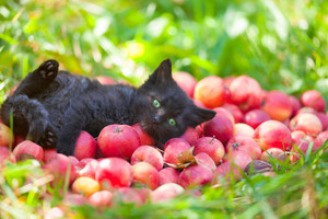 Little black kitten relaxing in the orchard on apples