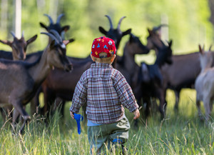 Little boy chasing goats on pasture. Beautiful childhood on village.