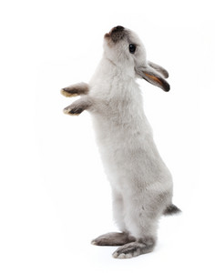Little bunny rabbit on white looking up