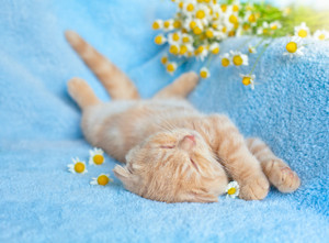 Little cat lying on blue blanket near chamomile flowers