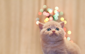 Little cat with Christmas bokeh for background