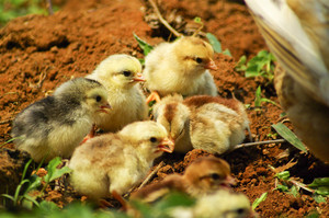 little chickens in asian farm