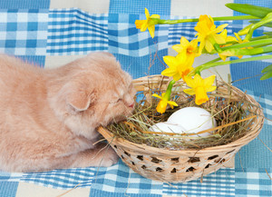 Little cream cat lying near basket with eggs