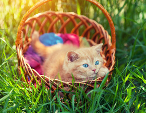 Little cute kitten hiding in a basket on the grass
