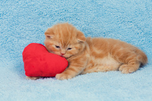 Little cute kitten lying on the heart-shaped pillow