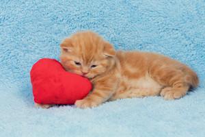 Little cute kitten lying on the heart-shaped pillow