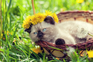 Little kitten crowned chaplet from dandelion flowers in a basket