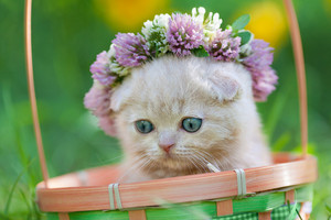 Little kitten crowned with clover chaplet in the garden