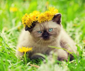 Little kitten enjoing summer in the dandelion lawn