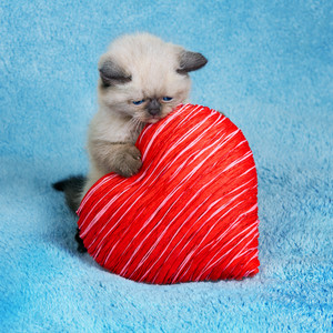 Little kitten holding red heart