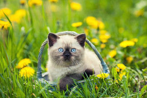 Little kitten in a basket on the grass with dandelions