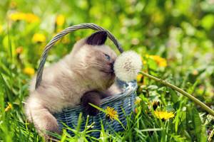Little kitten in a basket sniffing dandelion
