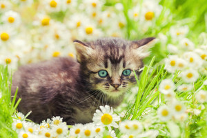 Little kitten in the camomile flowers