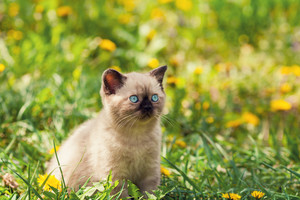 Little kitten in the dandelion lawn