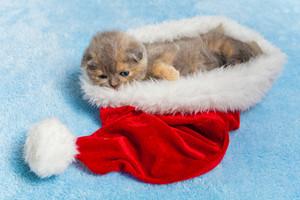 Little kitten lying inside Santa hat