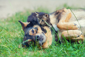 Little kitten lying on dogs head