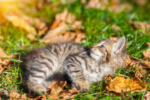 Little kitten lying on the grass with fallen leaves