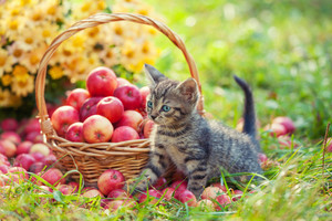 Little kitten near a basket with red apples