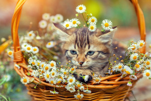 Little kitten sitting outdoors in the basket with flowers