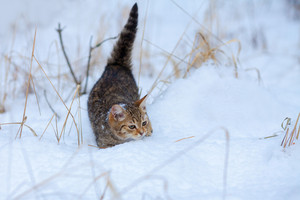 Little kitten walking in the snow
