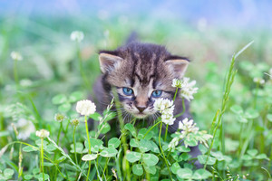 Little kitten walking on clover