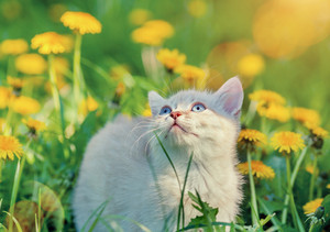 Little kitten walking on the dandelion lawn