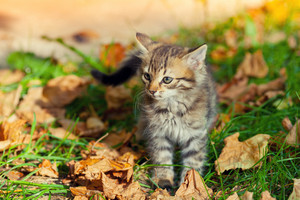 Little kitten walking on the grass with fallen leaves