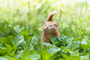 Little kitten walking outdoor in plantain