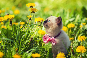 Little kitten wearing bow tie walking in the dandelion lawn