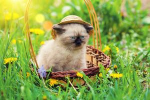 Little kitten wearing straw hat in a basket on dandelion lawn
