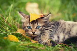 Little kitten with leaf on the head lying on the grass in autumn