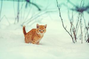 Little red kitten walking in snow