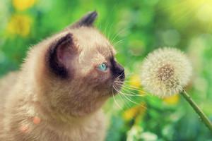 Little siamese kitten sniffing dandelions