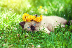 Little siamese kitten wearing a crown of dandelions