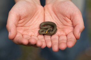 Little snake in male hands