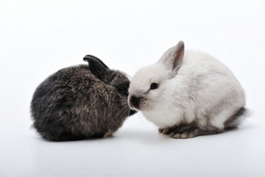 Little two rabbits on white